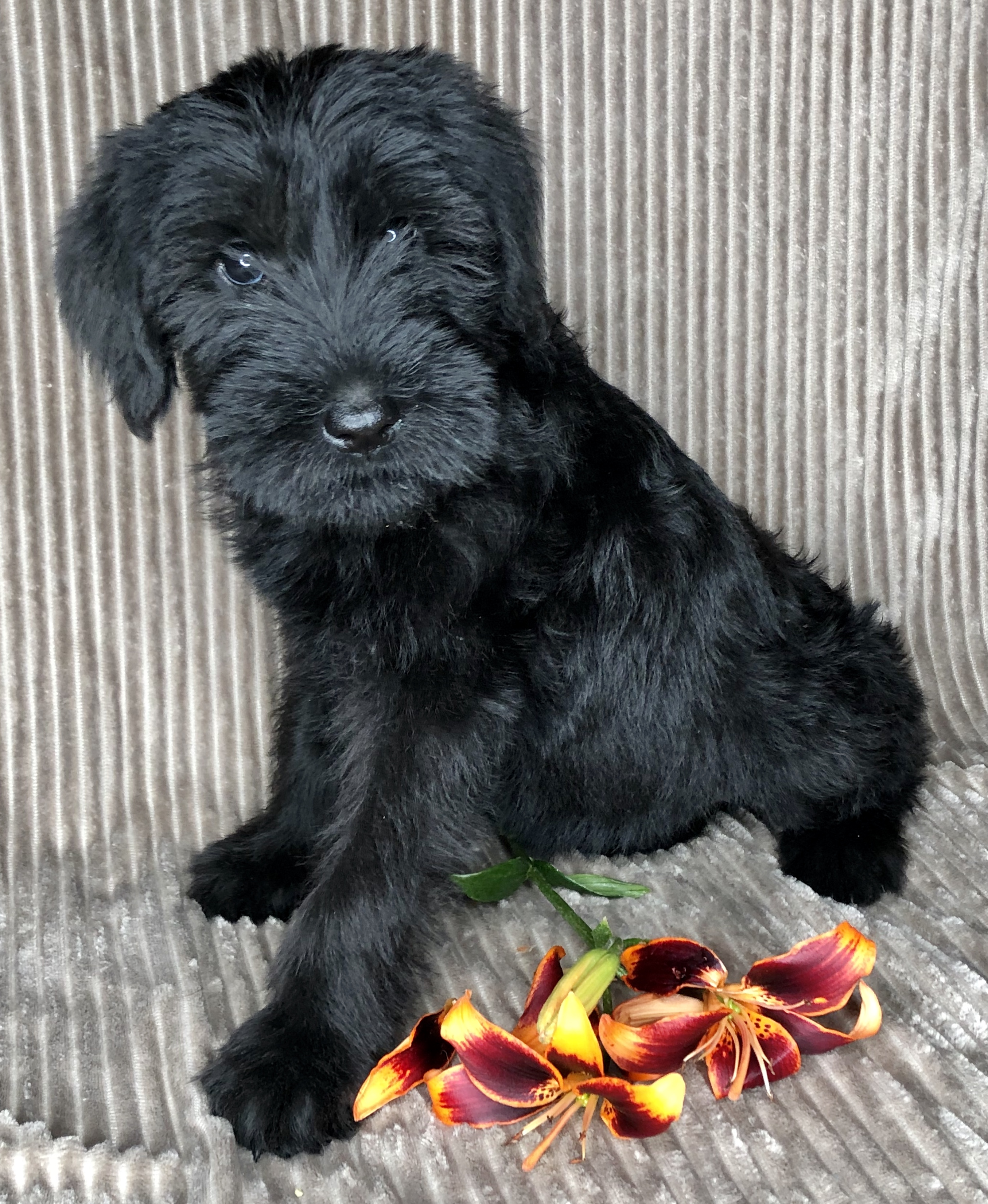 Kentucky Giant Schnauzers – Quality pups and young adults ...